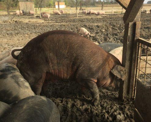 Slavonska svinja 420kg